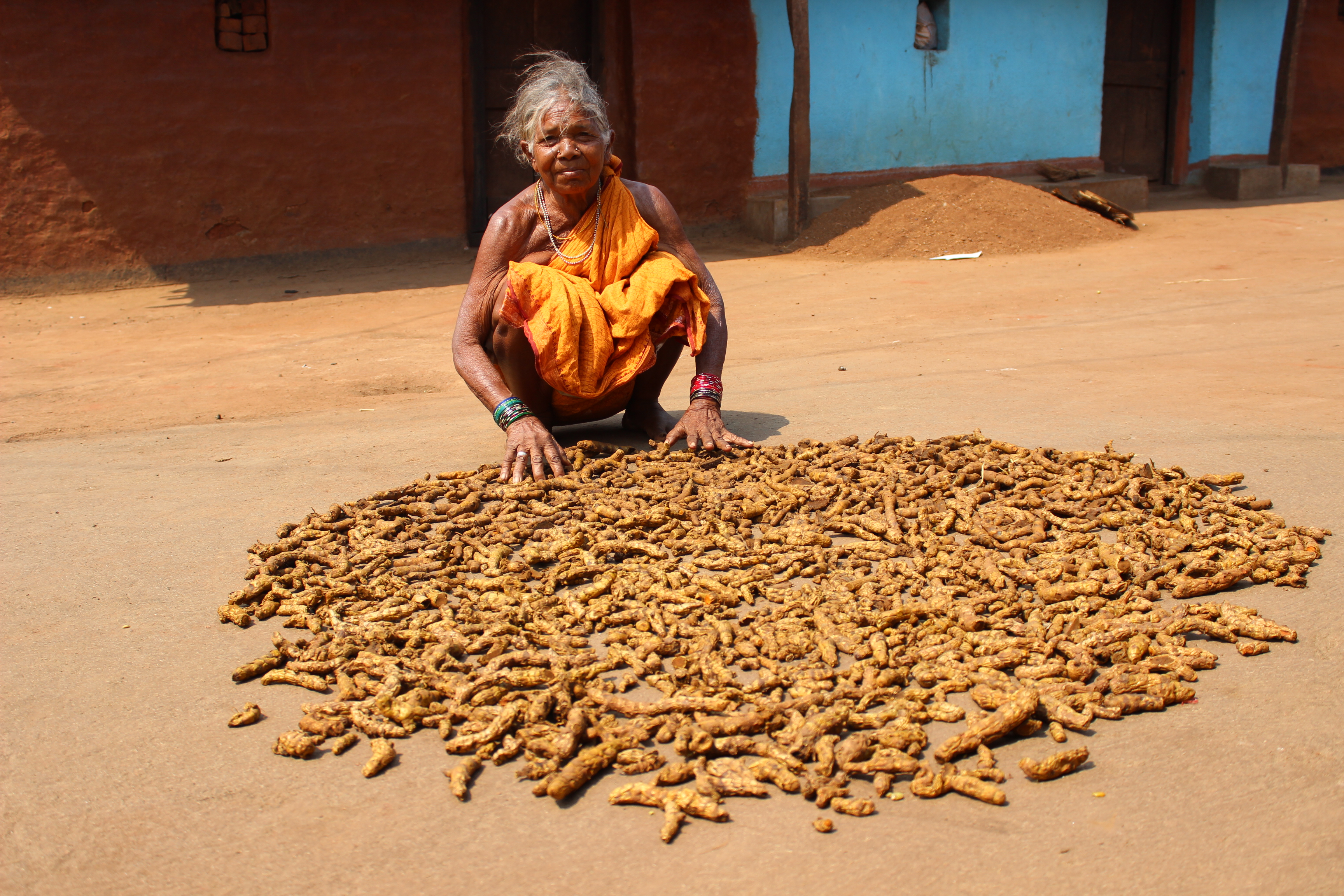 Figure 3 A woman sun-drying harvested turmeric from her Wadi plot, Pic; Abhijit Mohanty