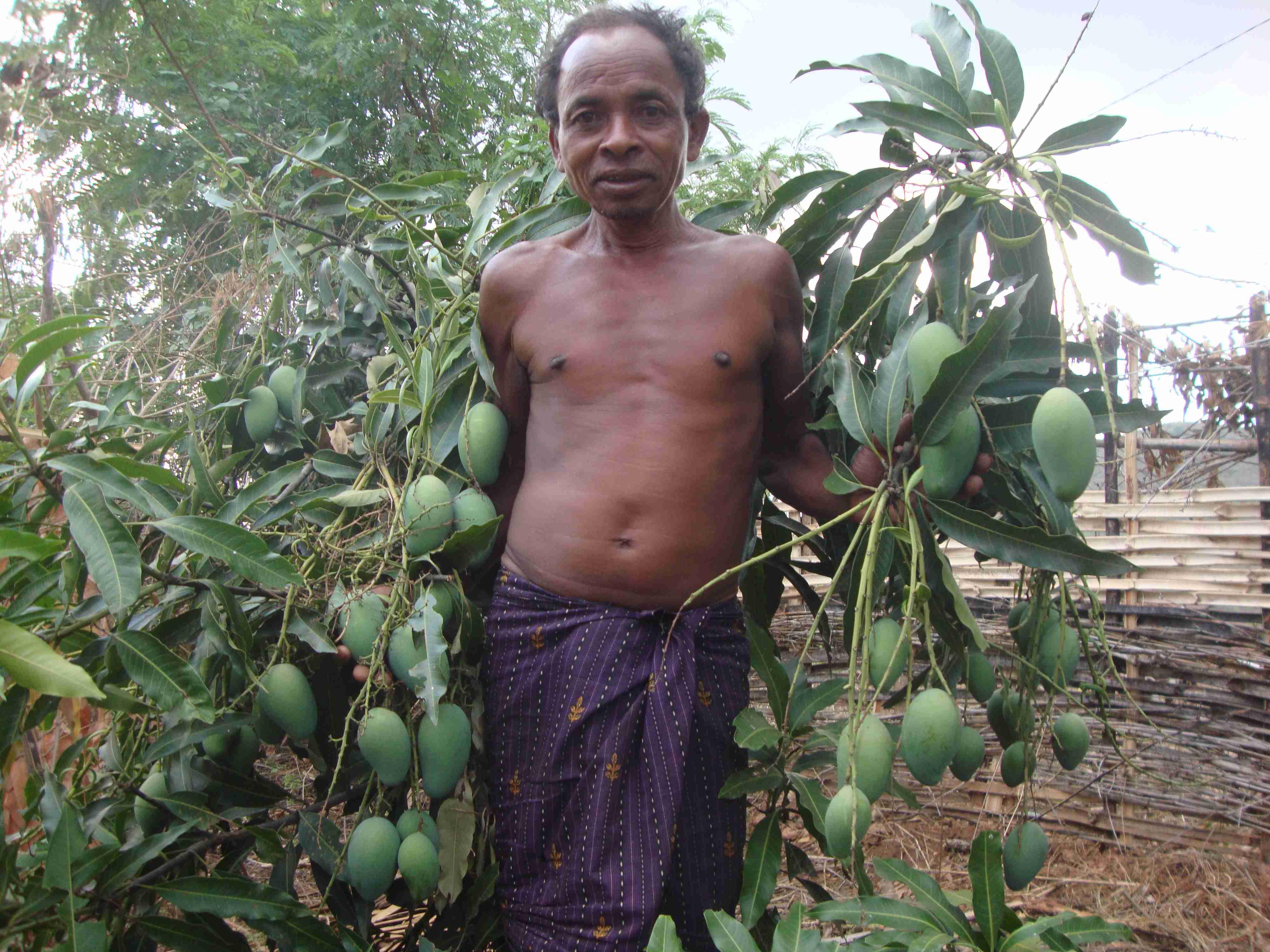 Figure 4 Sadhav Muduli showing mangos in his wadi plot, Pic: Abhijit Mohanty